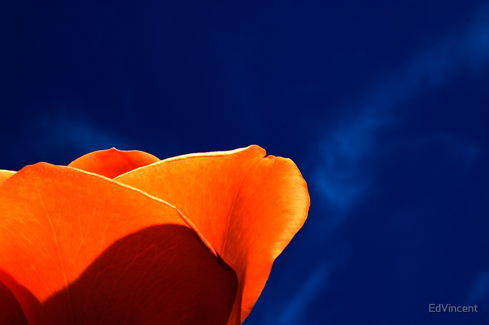 Rose by EdVincent
