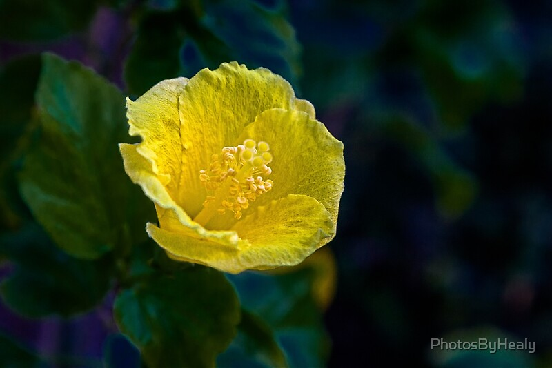 Yellow Hibiscus by Photos by Healy