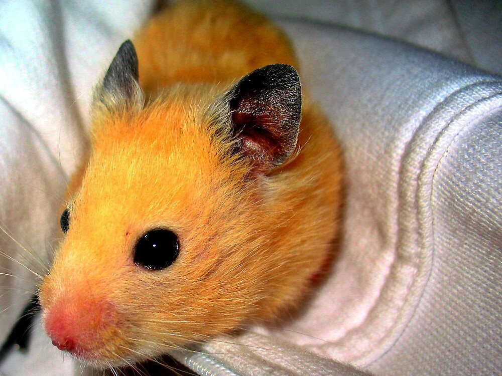 Hampster by Tommy Seibold