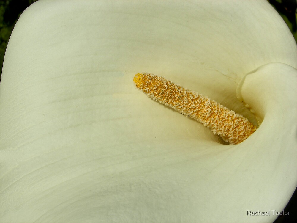 White Lily by Rachael Taylor
