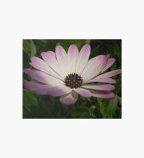 Side View of A Pink and White Osteospermum Art Board