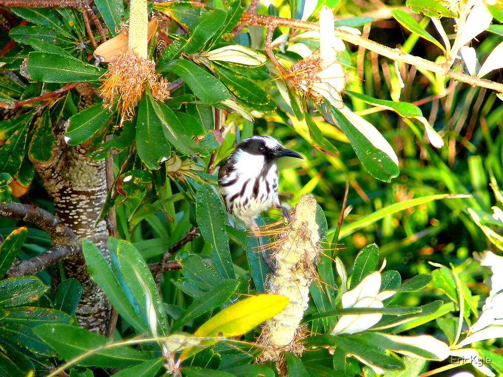 A HAPPY LITTLE HONEY EATER by EricKyle