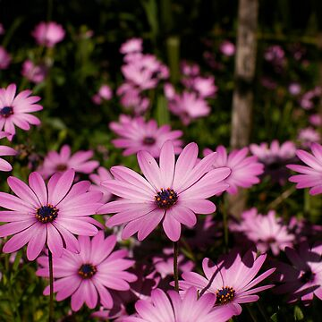 pink daisies by troy