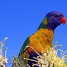 rainbow lorikeet by troy