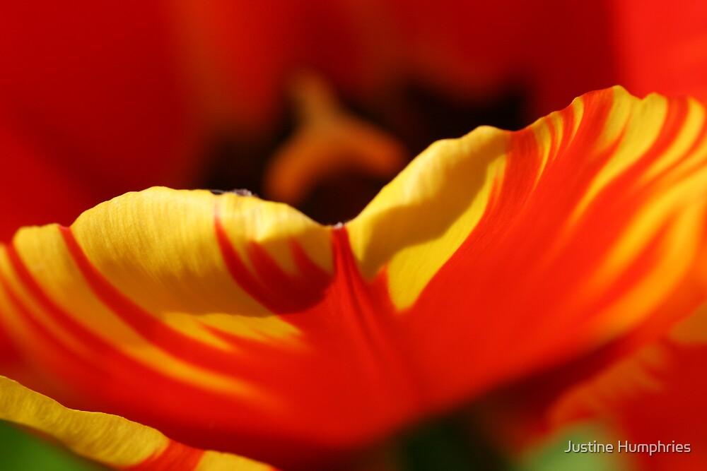 Tulip Petal by Justine Humphries