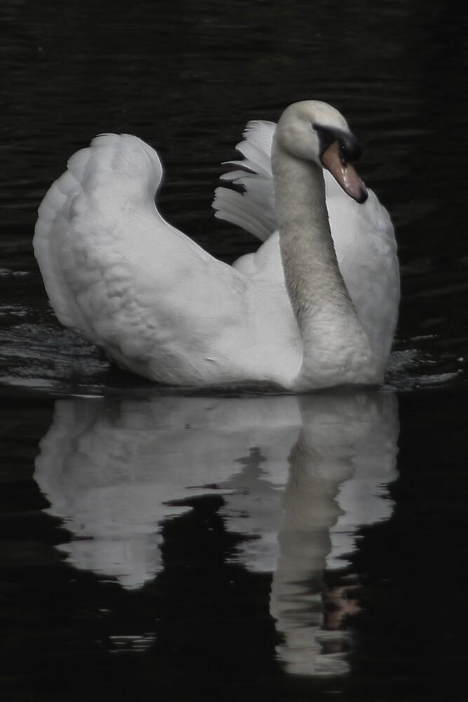 Dusky Swan by Chris Clark