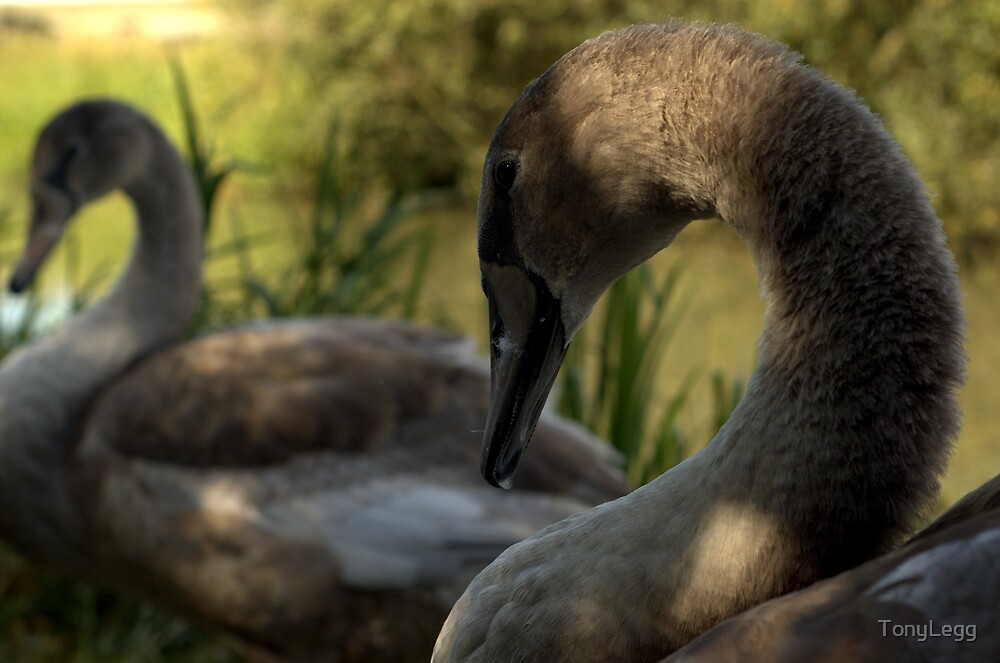 Young swans by TonyLegg