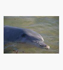 Monkey Mia dolphin, WA Photographic Print
