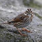 Savannah Sparrow   Ipswitch by Dennis Cheeseman