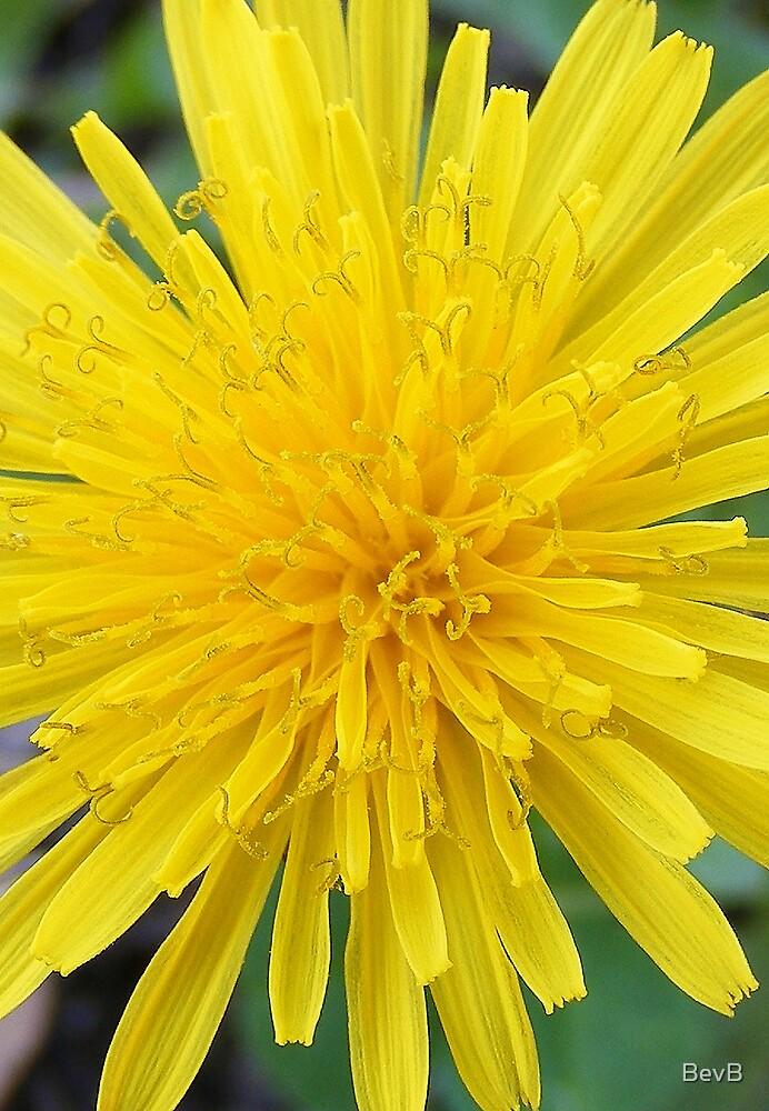 Dandelion Flower by BevB