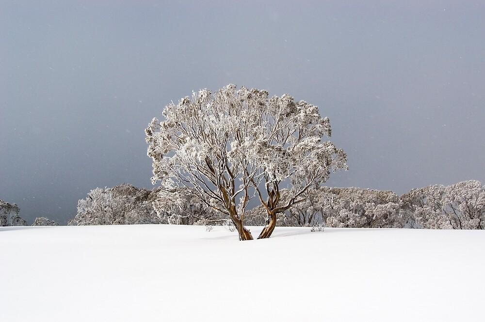 Summit Snow Gum  by John Barratt