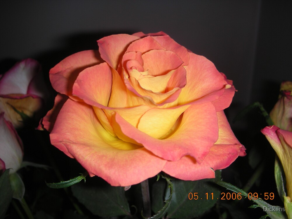 A lovely Rose by Dickens