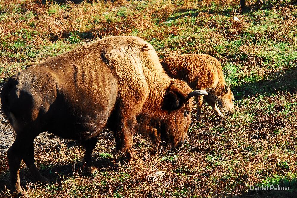 Buffalo Mother & Baby by Daniel Palmer
