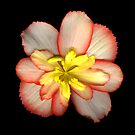 Pink and Yellow Begonia by Jeffrey  Sinnock