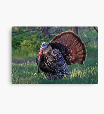 Tom Turkey - Wild Turkey Canvas Print