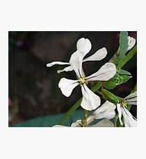 Flower from Rocket Herb Photographic Print