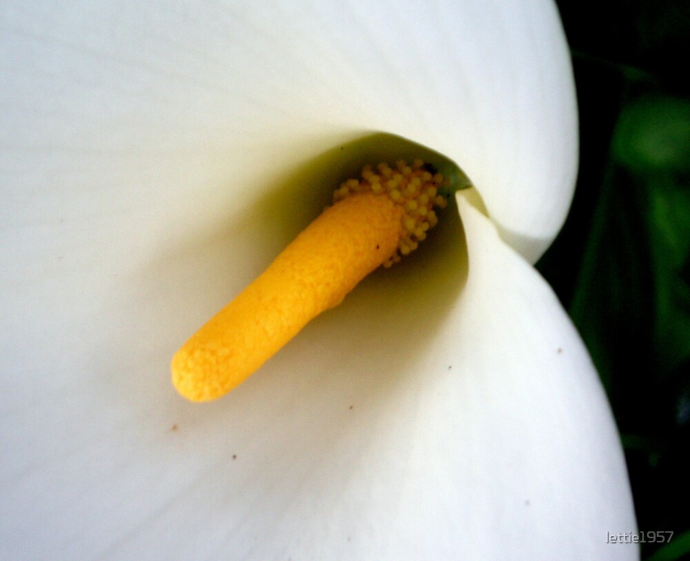 Arum Lily in Macro by lettie1957