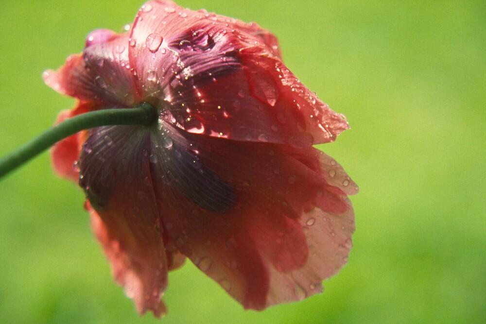Poppy in the rain by Luisa Schellens