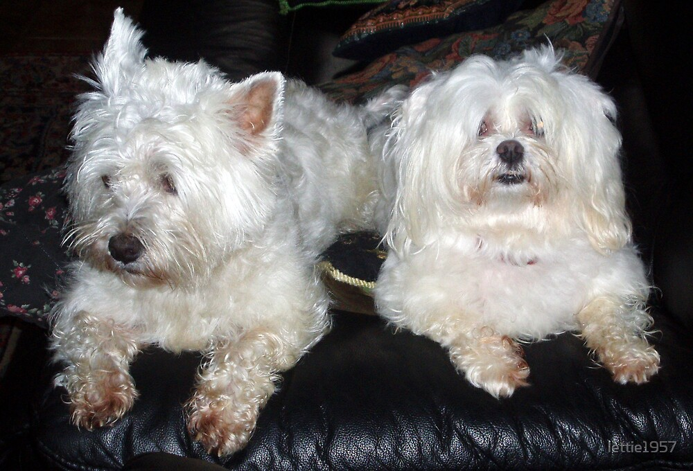 Sister's dogs - Mitsi and Minette  by lettie1957