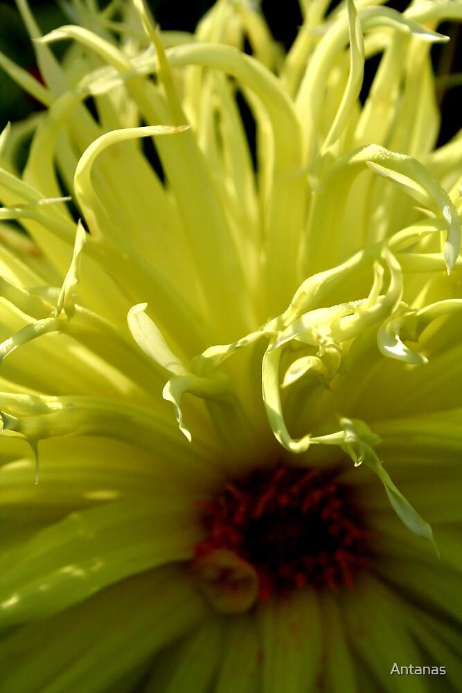 Light in flower by Antanas