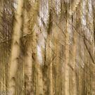 blurred birches... by wigs