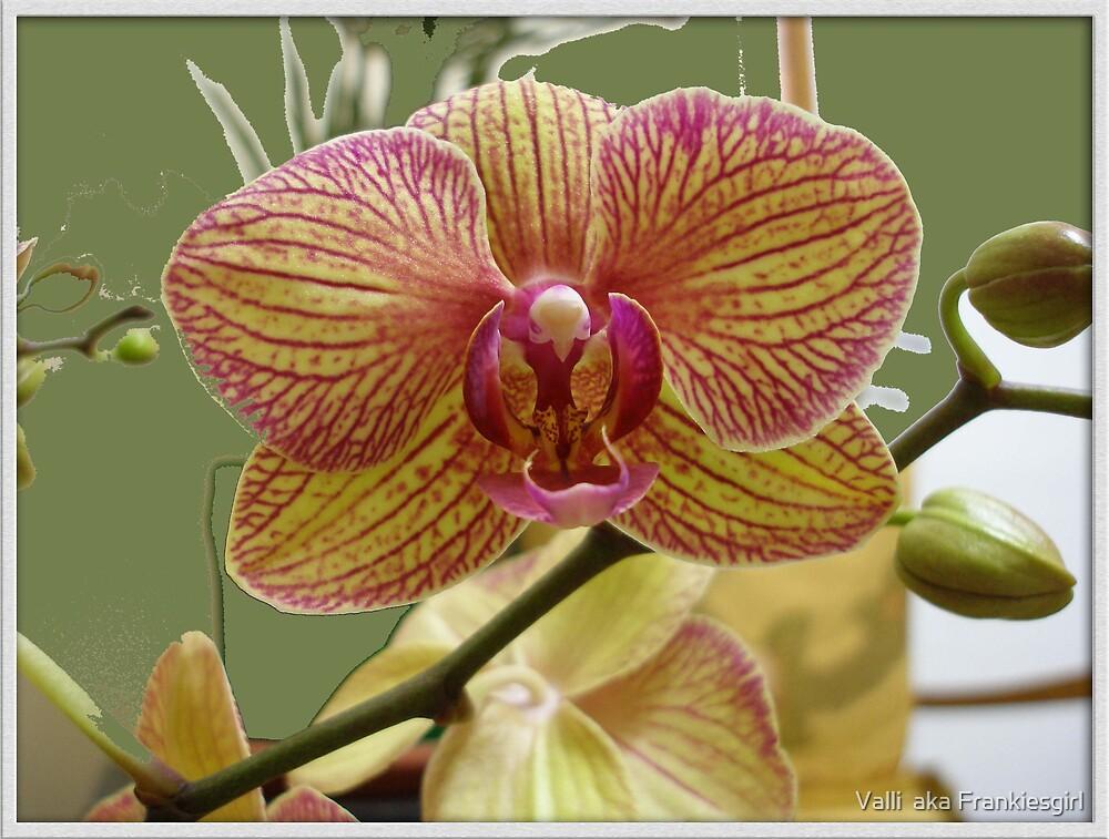 Tiger Orchid by Valli  aka Frankiesgirl