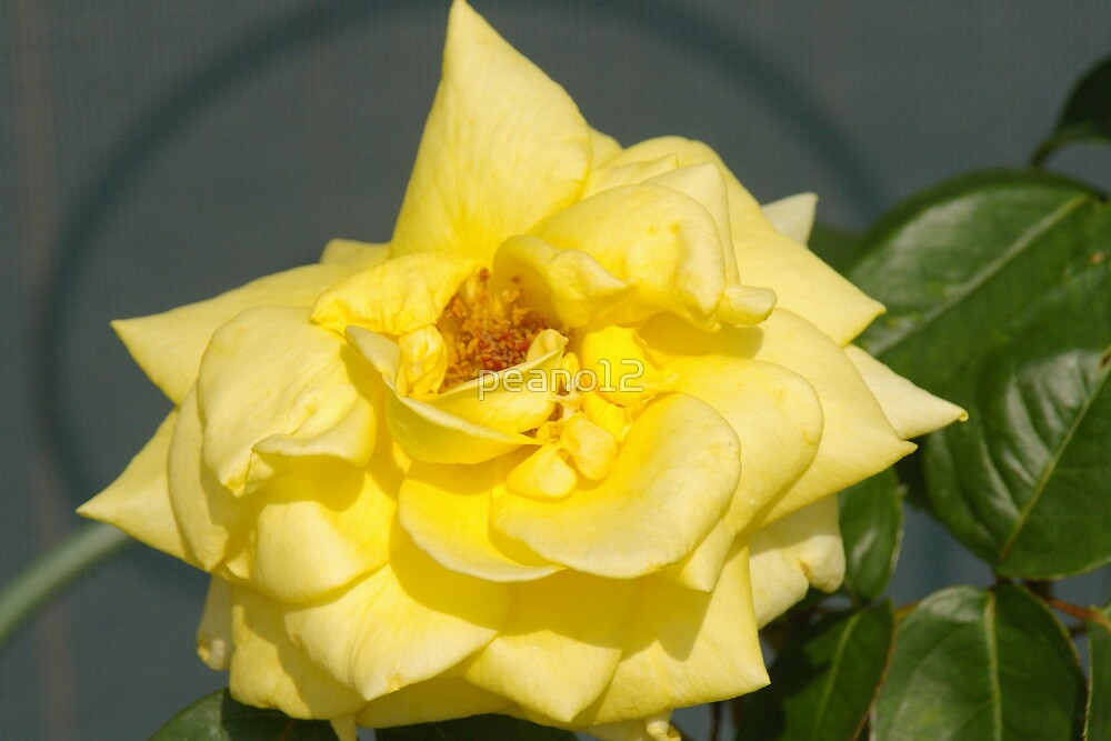Yellow Roses by peano12