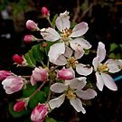 Apple Blossom Time by Douglas E.  Welch