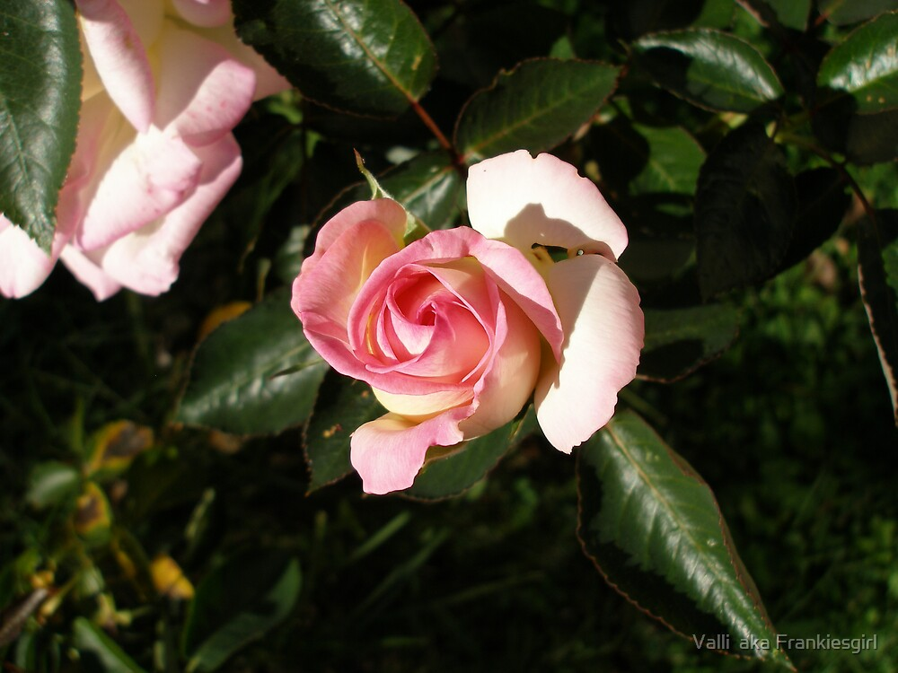 Pink Rose 2 by Valli  aka Frankiesgirl
