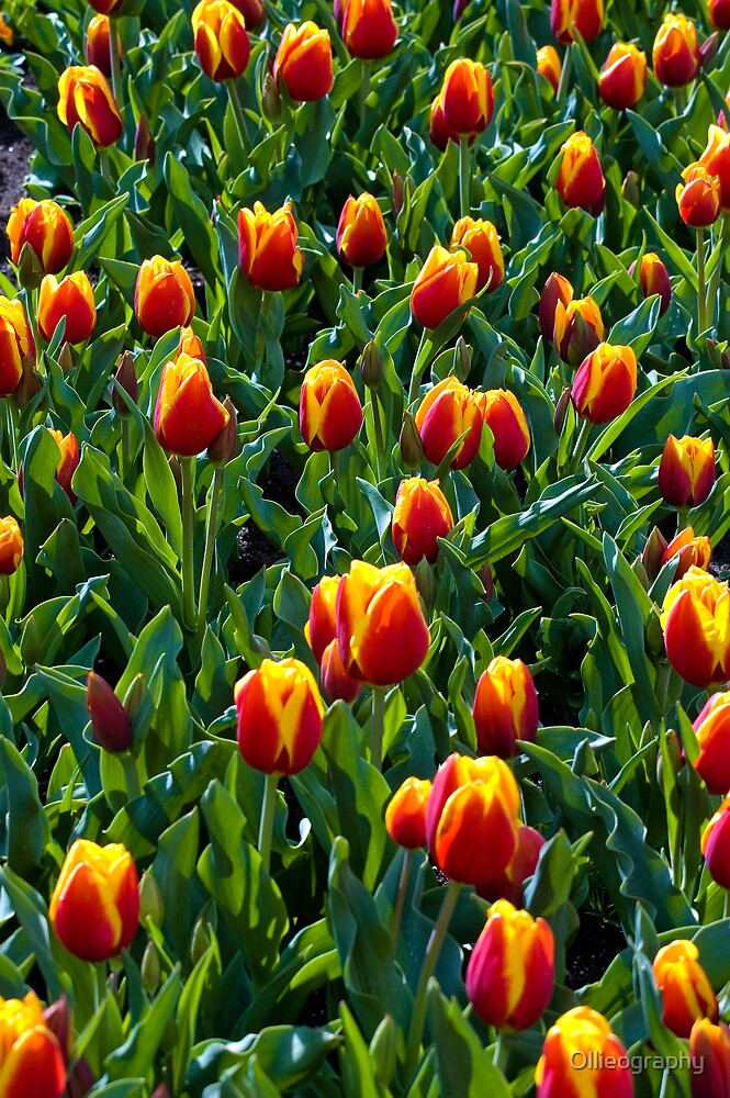 Tulips#4 by Ollieography
