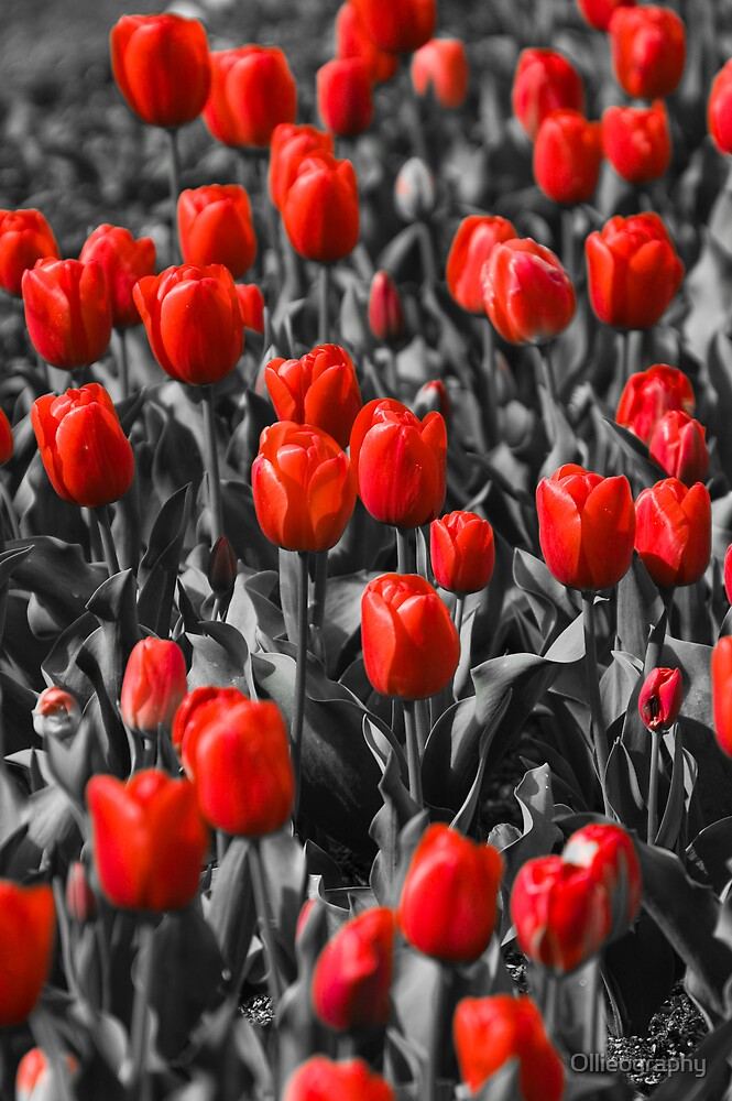 Tulips#6 by Ollieography