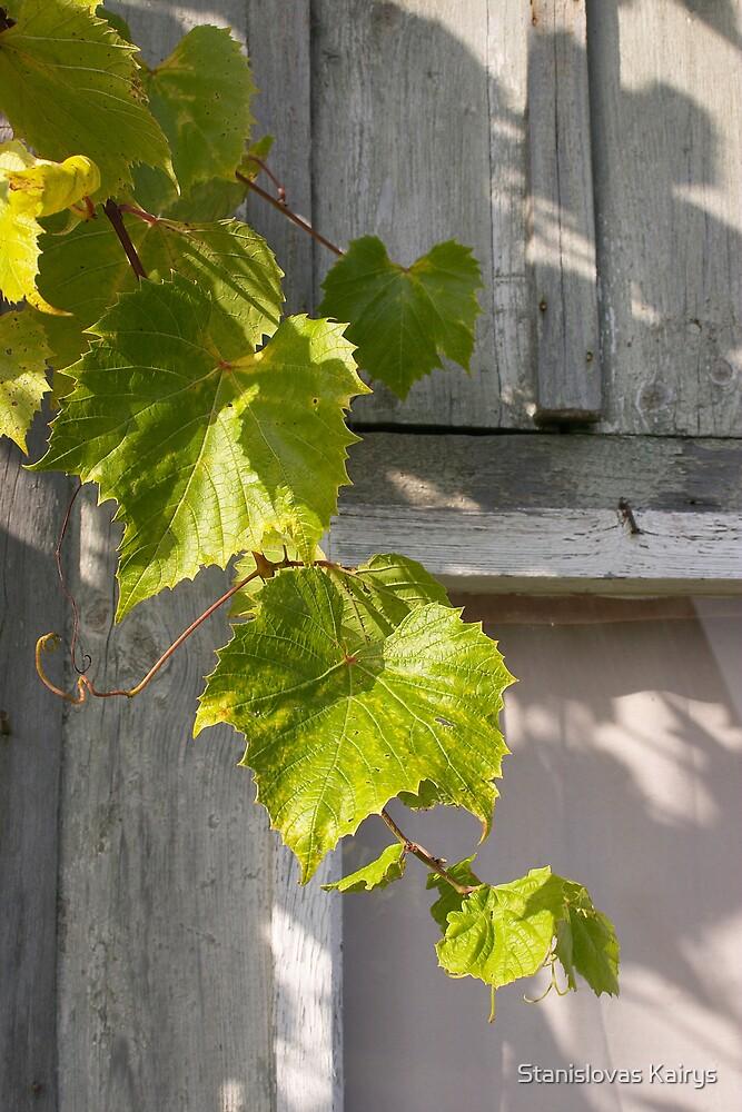 Grapevine. Autumn  by Stanislovas Kairys