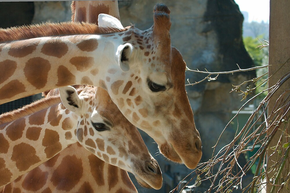 Giraffes feeding by Trent Wallis