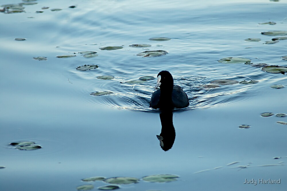 Common Coot by Judy Harland