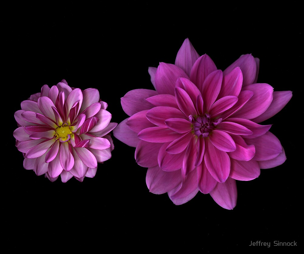 Two Pink Dahlias by Jeffrey  Sinnock