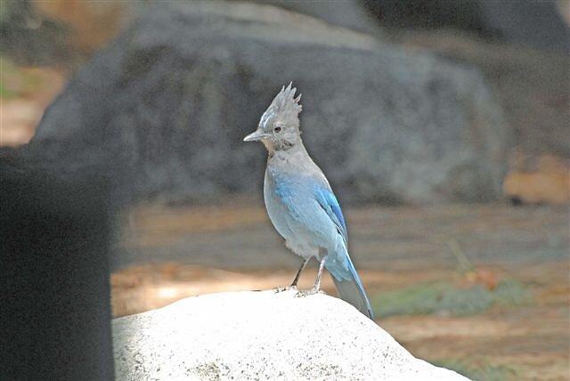 Bad Hair Day, Blue Jay by raptrlvr