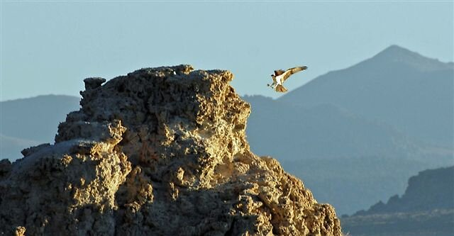 Young Osprey's First Flights, Mono Lake by raptrlvr