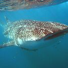 Whale shark by Stephanie Johnson