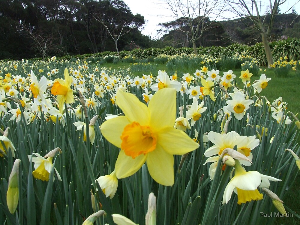 A Host  of Golden Daffodils by Paul Martin