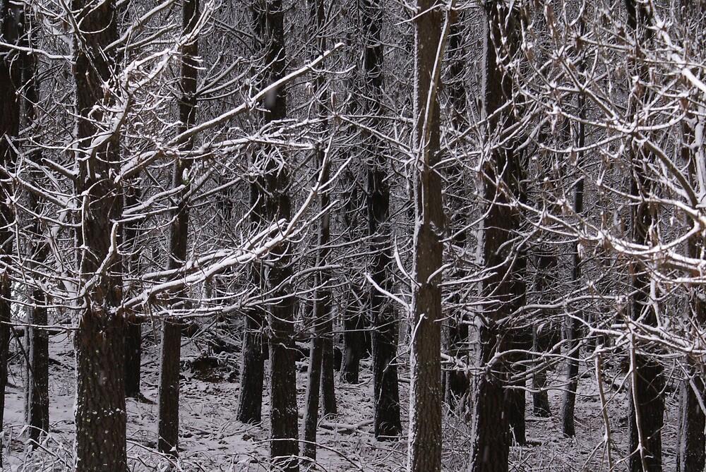 white pine by simonsinclair