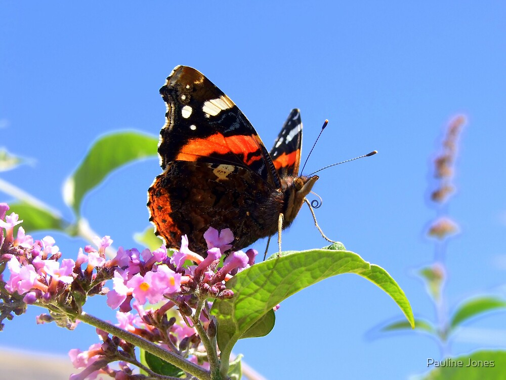 Red Admiral by Pauline Jones