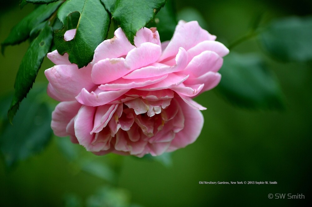 Pink Rose | Old Westbury Gardens, New York  by © Sophie W. Smith