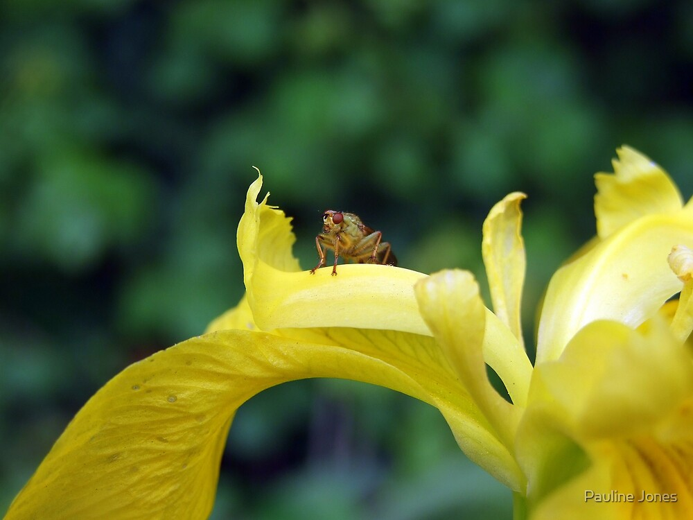 Fly On Iris by Pauline Jones