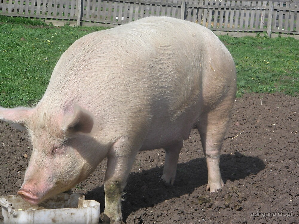 bundoora park farm  PIG  by adrianna crupi