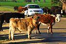 Cattle Drive by Darren Stones