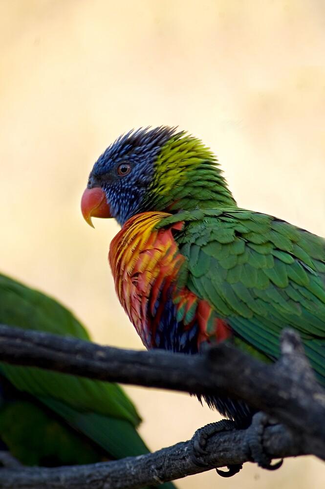Rainbow Lorikeet by Judy Harland