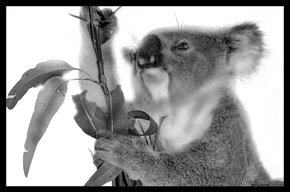 Koala : Phascolarctos cinereus by WildLensPress