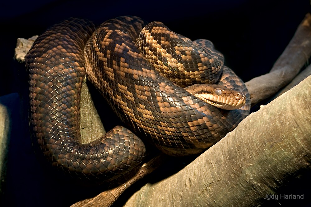 Python by Judy Harland