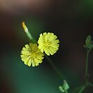 Yellow flowers by richeriley