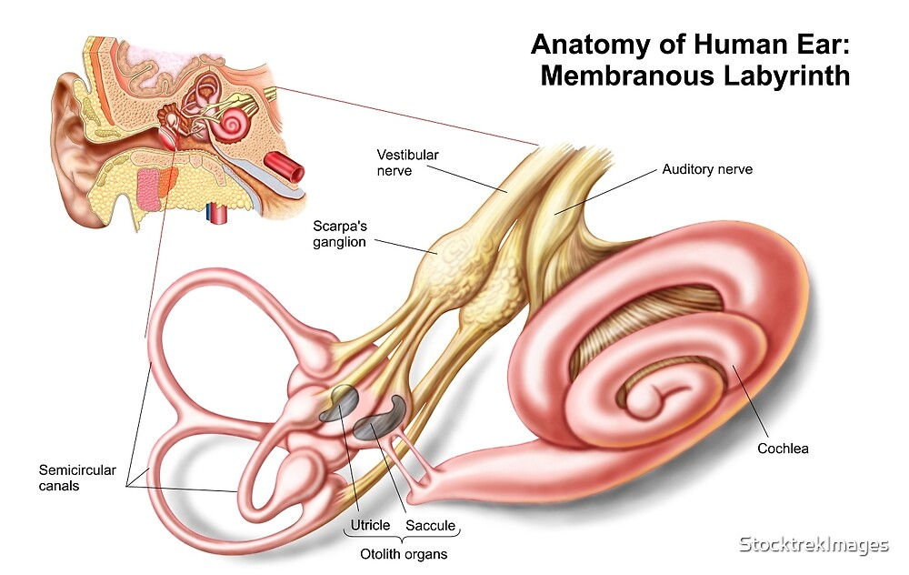 Anatomy of human ear, membranous labyrinth.\